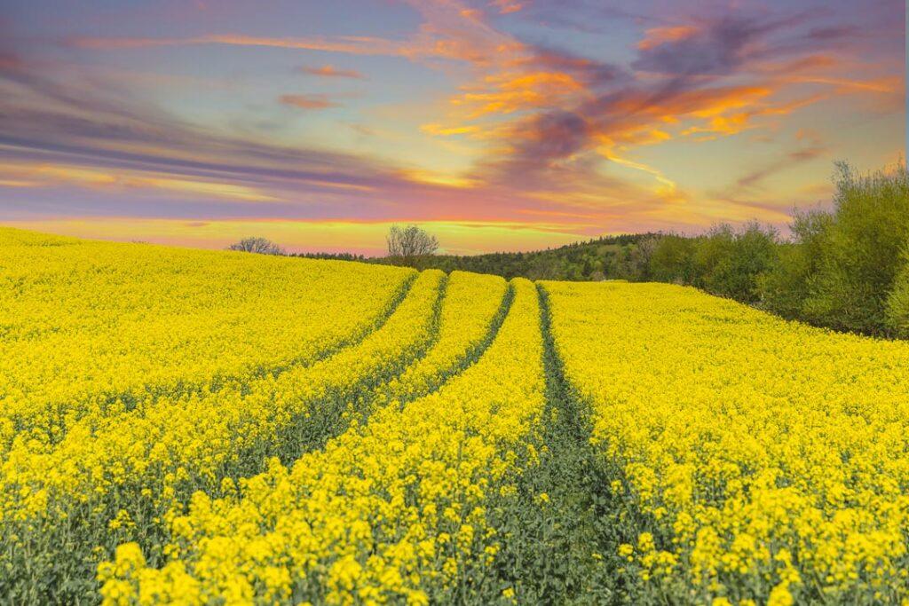 Skane rapeseed fields