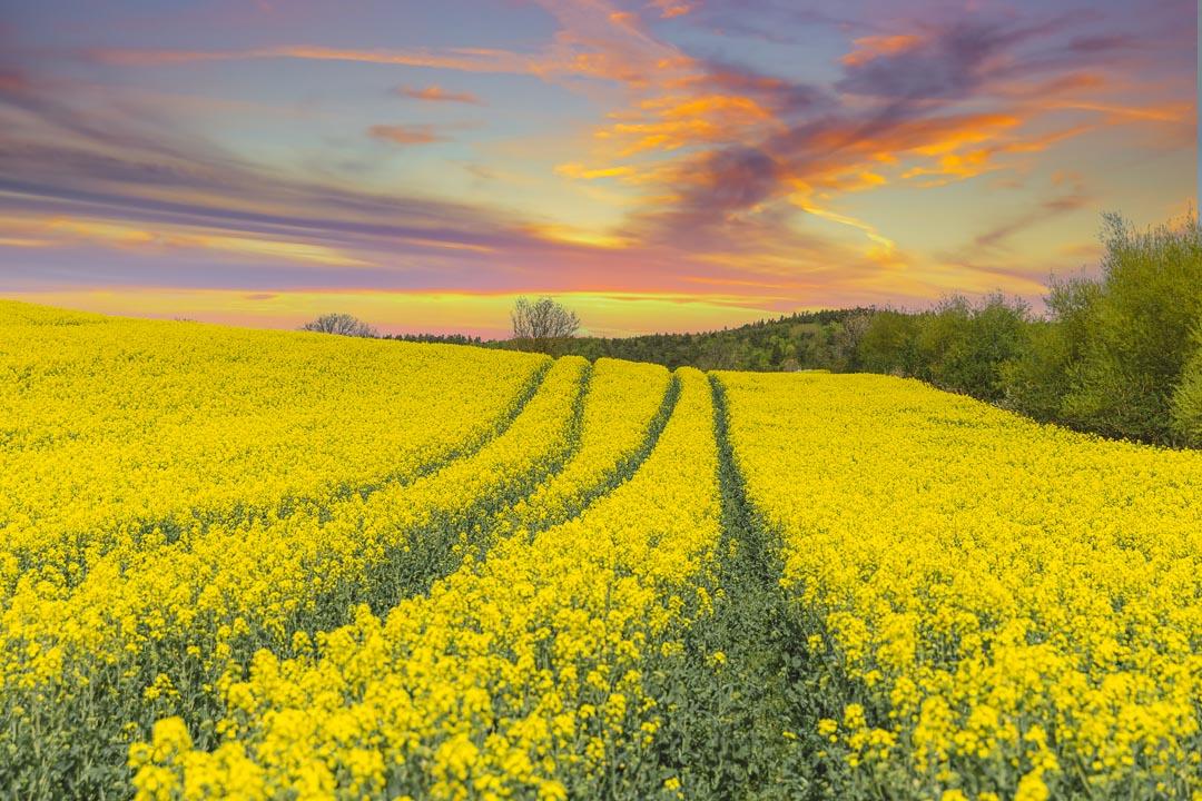 Skåne Rapeseed Fields – A Swedish Spring Dream