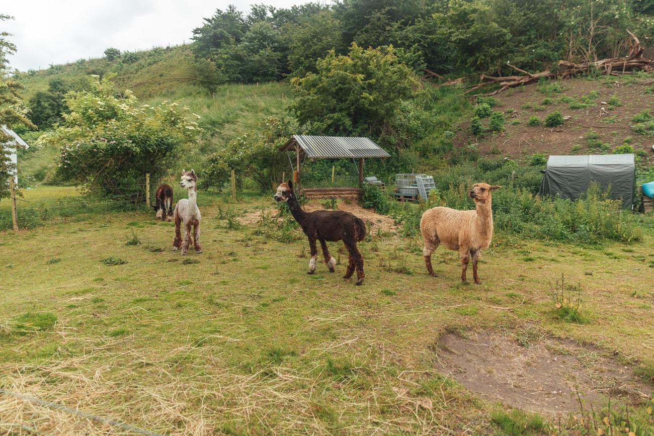 Alpaca farm Ven Island