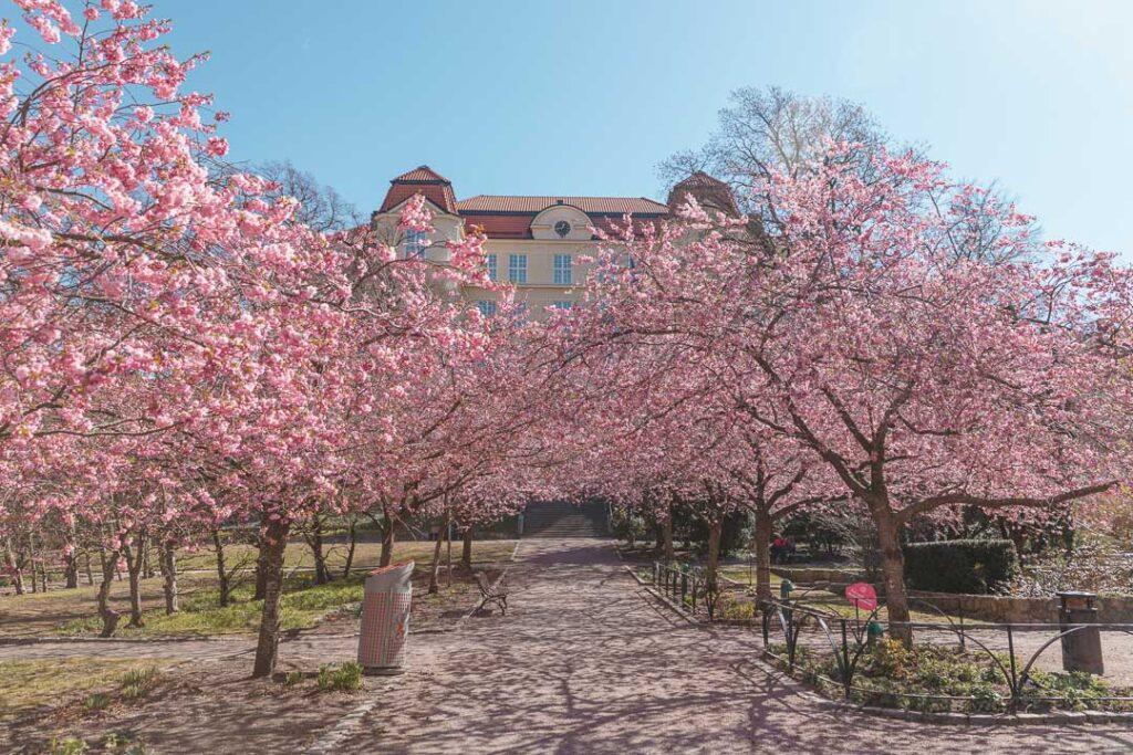 cherry blossom gothenburg